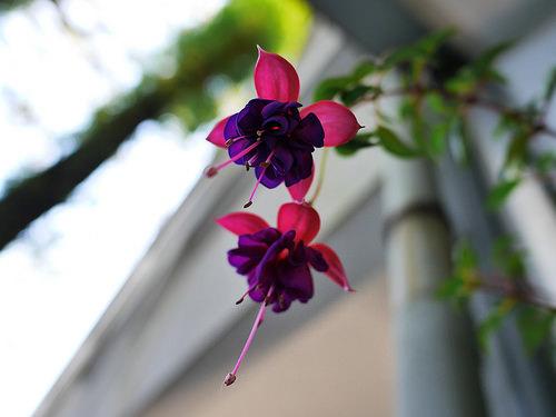 コチョウラン(胡蝶蘭)紫の不思議な花:Panasonic LUMIX GM1S + LEICA SUMMILUX 15mm F1.7