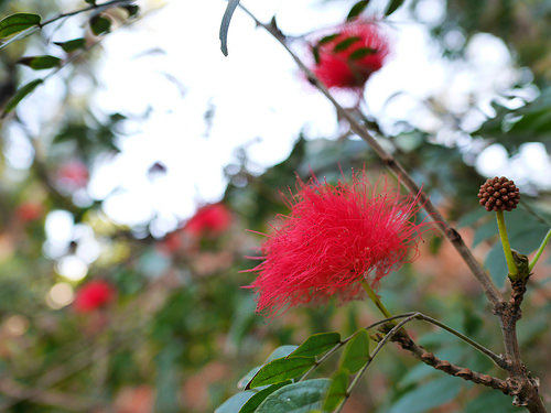 オオベニゴウカン(大紅合歓)の赤い花とつぼみ:Panasonic LUMIX GM1S + LEICA SUMMILUX 15mm F1.7