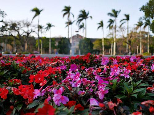 赤い花(パンジー)とピンクの花(パンジー)と台湾大学文学院とヤシの木:Panasonic LUMIX GM1S + LEICA SUMMILUX 15mm F1.7