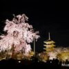 京都・東寺 夜間拝観の枝垂れ桜とライトアップされた五重塔